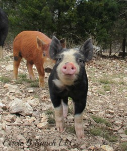 happy-piglets 1