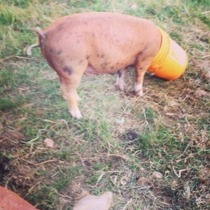 Cathy pig