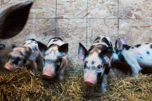 Cathy piglets