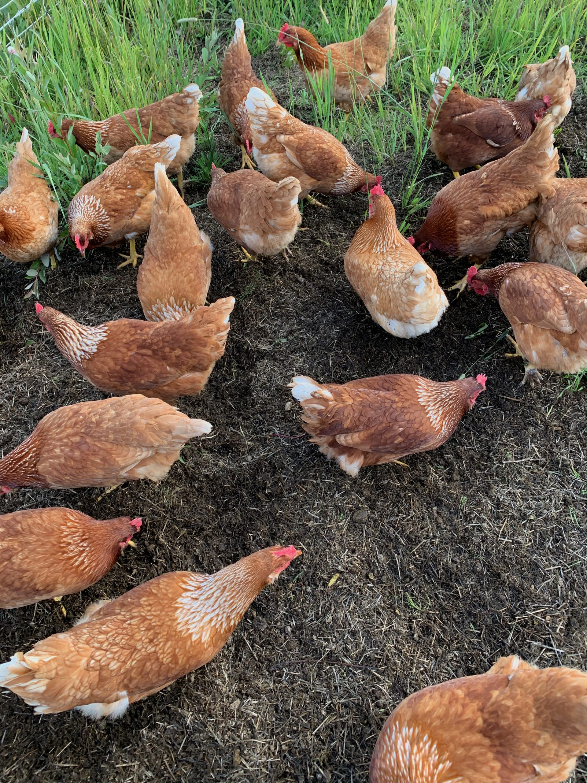 Pastured chickens scratching through a compost pile